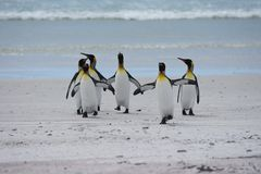 Koning Penguins in Vrijwilligerspunt, Falkland Islands royalty-vrije stock foto
