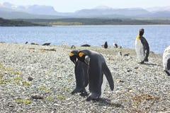 Koning pinguins dichtbij overzees Stock Afbeeldingen