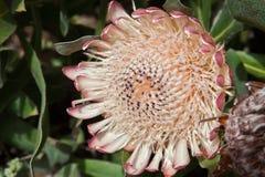 Koning Protea (Protea cynaroides). Stock Fotografie