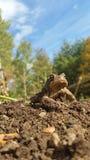 Koning Toad Stock Afbeeldingen
