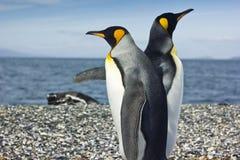 Koning twee pinguins dichtbij overzees Royalty-vrije Stock Foto