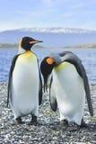 Koning twee pinguins dichtbij overzees Royalty-vrije Stock Foto's