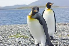 Koning twee pinguins dichtbij overzees Stock Foto's