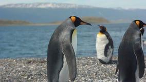 Koning twee pinguins dichtbij overzees stock footage