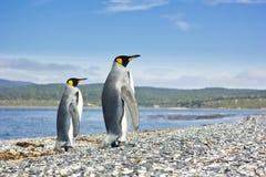 Koning twee pinguins dichtbij zeevorm de camera Stock Afbeeldingen