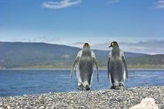 Koning twee pinguins dichtbij zeevorm de camera Royalty-vrije Stock Afbeelding