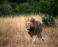 Koning van de Savanne Royalty-vrije Stock Foto's