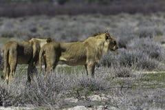 Koning van de wildernis Royalty-vrije Stock Fotografie