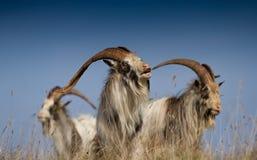 Koning van Feral Goats Royalty-vrije Stock Afbeeldingen