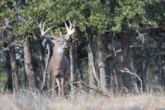 Koning van het bos Royalty-vrije Stock Fotografie