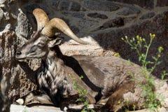 Koning van Rocky Mountains van de Kaukasus, het Oosten Aziatische Tur Royalty-vrije Stock Foto