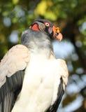 Koning Vulture Royalty-vrije Stock Foto's
