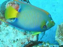 Koningin Angelfish royalty-vrije stock afbeeldingen