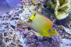 Koningin Angelfish (ciliaris Holacanthus) royalty-vrije stock afbeeldingen