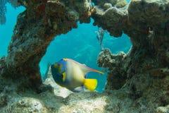 Koningin Angelfish door Coral Arch stock foto's