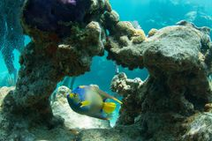 Koningin Angelfish door Coral Arch royalty-vrije stock foto's
