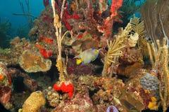 Koningin Angelfish en Koraalrif stock fotografie