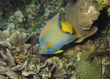 Koningin Angelfish- Roatan, Honduras royalty-vrije stock foto