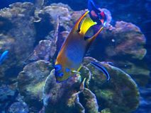 Koningin Angelfish Undersea Isolated op Coral Reef Background stock afbeelding