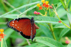 Koningin Butterfly Royalty-vrije Stock Foto