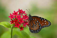Koningin Butterfly, gilippus Danaus Royalty-vrije Stock Afbeelding