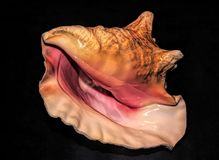 Koningin Conch Outer Shell Lip stock afbeelding