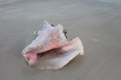 Koningin Conch Shell op Zand stock afbeelding
