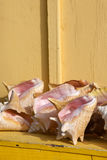 Koningin Conch Shells royalty-vrije stock afbeeldingen