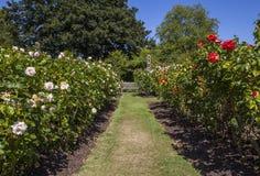 Koningin Marys Gardens in Regentenpark, Londen Royalty-vrije Stock Foto's