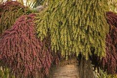 Koningin Palm Fruits Stock Afbeelding