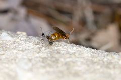 Koningin Pavement Ants Royalty-vrije Stock Afbeeldingen