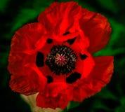 Koningin Red papaver Royalty-vrije Stock Foto's