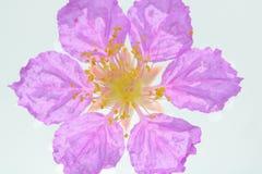Koningin` s bloem op witte achtergrond wordt geïsoleerd die Royalty-vrije Stock Afbeeldingen