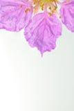 Koningin` s bloem op witte achtergrond wordt geïsoleerd die Stock Foto's