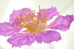 Koningin` s bloem op witte achtergrond wordt geïsoleerd die Stock Fotografie