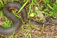 Koningin Snake (septemvittata van Regina) Royalty-vrije Stock Foto