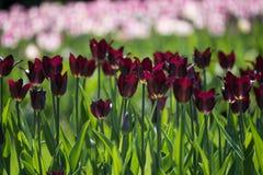 Koningin van de tulpen de rijke donkere verscheidenheid van Nacht Stock Afbeelding