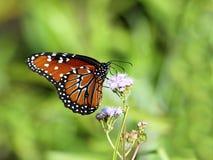 Koningin vlinder-2 Royalty-vrije Stock Afbeeldingen