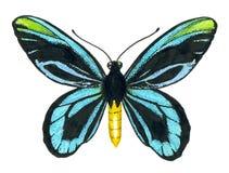 Koninginalexandra ` s birdwing vlinder Royalty-vrije Stock Afbeeldingen