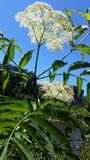 Koninginannes Lace bloem tegen heldere blauwe hemel Royalty-vrije Stock Fotografie