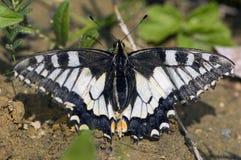 Koninginnenpage, Swallowtail, machaon de Papilio imagens de stock royalty free
