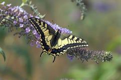 Koninginnenpage, Swallowtail, Papilio machaon stock afbeelding