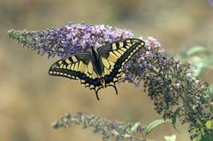 Koninginnenpage Swallowtail, Papilio machaon arkivbilder