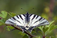 Koningspage, Rzadki Swallowtail, Iphiclides podalirius zdjęcie stock