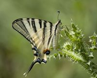 Koningspage, Scarce Swallowtail, Iphiclides podalirius royalty free stock photo