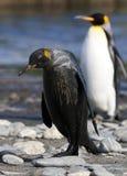 Koningspinguïn, Koning Penguin, Aptenodytes-patagonicus stock fotografie