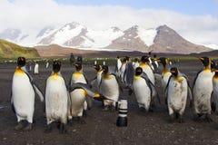 Koningspinguïn, królewiątko pingwin, Aptenodytes patagonicus obraz stock