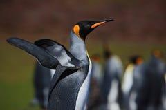 Koningspinguïn, Aptenodytes-patagonicus met uitgespreide vleugels, vage pinguïnen op achtergrond, Falkland Islands stock fotografie