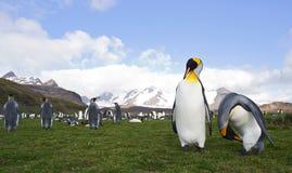 Koningspinguïn, King Penguin, Aptenodytes patagonicus. Koningspinguïn Salisbury Plain Zuid Georgia; King Penguin Salisbury Plain South Georgia royalty free stock photo