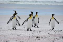 Koningspinguïnen komst van het strand stock afbeelding